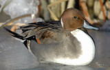 Pintail, Northern D-008.jpg