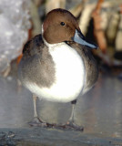 Pintail, Northern D-007.jpg