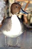 Pintail, Northern D-003.jpg