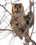 Owl Long-eared D-22 .jpg