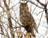 Owl Long-eared D-23 .jpg