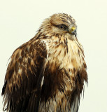 Hawk, Rough-legged (Casting Pellet)