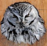 Owl Western screech D-052.jpg