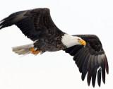Eagle Bald D-023.jpg