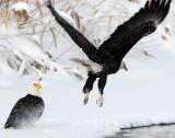 Eagle Bald D-005.jpg