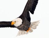 Eagle  Bald D-054.jpg