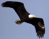 Eagle  Bald D-052.jpg