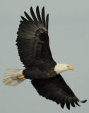 Eagle  Bald D-056.jpg