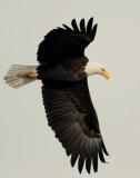 Eagle  Bald D-057.jpg