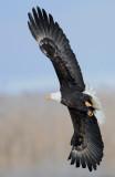 Eagle  Bald D-058.jpg