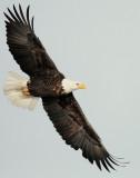 Eagle  Bald D-059.jpg
