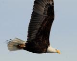 Eagle  Bald D-064.jpg