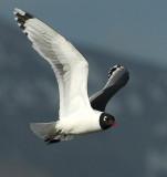 Gull FranklinsD-001.jpg