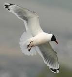 Gull FranklinsD-005.jpg
