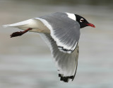 Gull FranklinsD-007.jpg