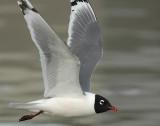 Gull FranklinsD-0017.jpg