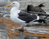 Gull, Western