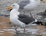 Gull Western D-002.jpg