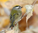 Kinglet, Golden-crowned