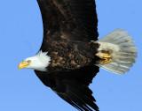 Eagle  Bald D-080.jpg
