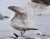 Gull Iceland D-020.jpg