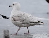 Gull Iceland D-021.jpg