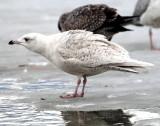 Gull, Iceland