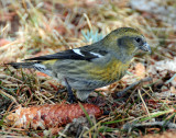 Crossbill, White-winged