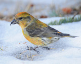 Crossbill, Red (Female)