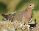Dove Mourning D-002.jpg