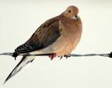 Mourning Dove D-010.jpg