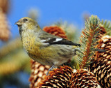 Crossbill, White-winged #2