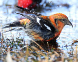 Crossbill  White-winged D-96.jpg
