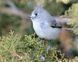 Titmouse  Juniper D-059.jpg