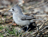 Titmouse  Juniper D-055.jpg