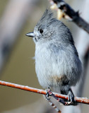 Titmouse  Juniper D-056.jpg