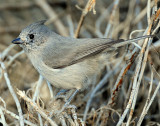 Titmouse  Juniper D-057.jpg