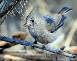 Titmouse  Juniper D-050.jpg