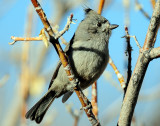 Titmouse  Juniper D-053.jpg