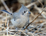 Titmouse  Juniper D-058.jpg