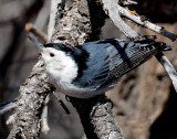 Nuthatch, White-breasted