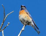 Bluebird  Western D-003.jpg