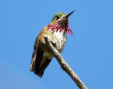 Hummingbird, Caliope