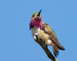 Hummingbird, Caliope