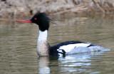 Merganser, Red-breasted