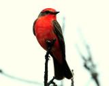 Flycatcher, Vermillian