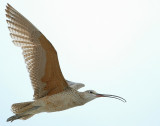 Curlew, Long-billed