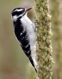 Woodpecker, Downy (Female)