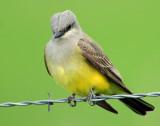 Kingbird, Western