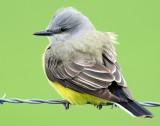 Kingbird, Western--2009